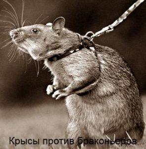 Крысы против браконьеров