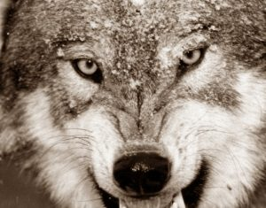 Волка зарезала женщина защищая мужа