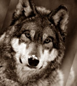 Волк в столице Грузии Тбилиси