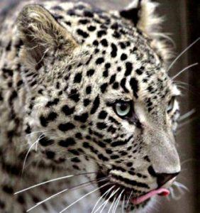 Леопард в Северной Осетии