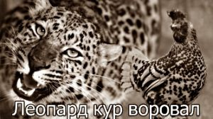 Леопард кур воровал