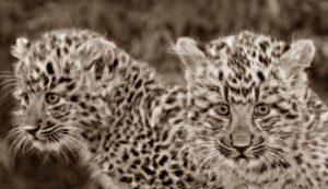 Собака Тесси приняла котят леопарда