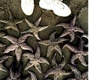 Морские звезды на берегах Охотского моря