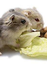 Правда ли, что домашним крысам и хомякам нельзя давать капусту