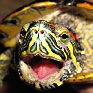 При покупке красноухой черепахи