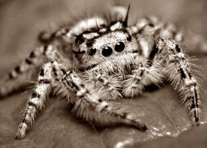 пауки убийцы
