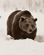 В Забайкальском крае, контрабанда-медвежьи лапы! Пытались отправить в Китай