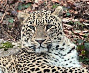 Гибель леопарда Виктория в Абхазии