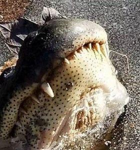 Крокодилы пережили холодный циклон в Америке и благополучно когда потеплело отправились восвояси