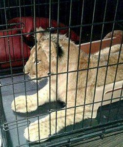 Львенку не понравилось лететь в клетке во время перелета