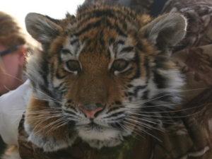 тигрица вышла к людям за помощью