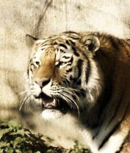 Амурские тигры и конфликты, с местными жителями