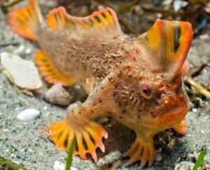 Рыба с ногами с острова Тасмания