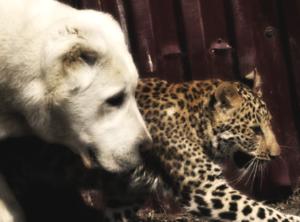 Собака воспитывает леопарда