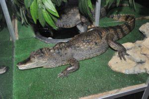 Крокодил в Ставрополе