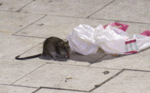 Огромные крысы в Швеции