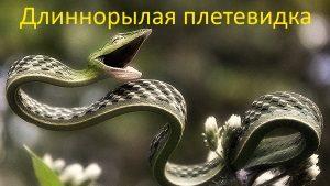 Длиннорылая плетевидка