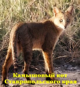Камышовый кот Ставропольского края