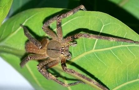 Бразильский странствующий паук (Phoneutria fera)