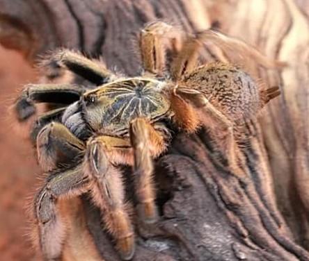 Геркулесовый бабуин (Hercules Baboon Spider)