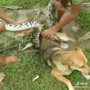 собаку спасли от питона