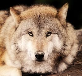 Как волк мальчишку спас