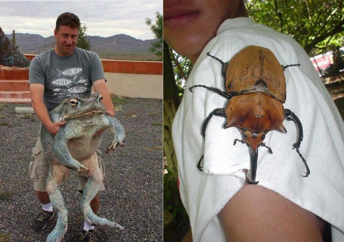 лягушки из Центральной Африки