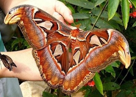 самая большая бабочка