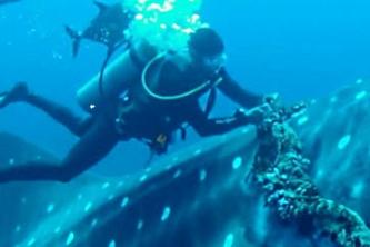 Китовая акула приплыла к дайверу и попросила о помощи